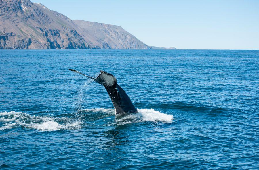 velryba, pozorovanie velryb, vylet, island, poznavaci zajazd, poznavacie zajazdy, satur