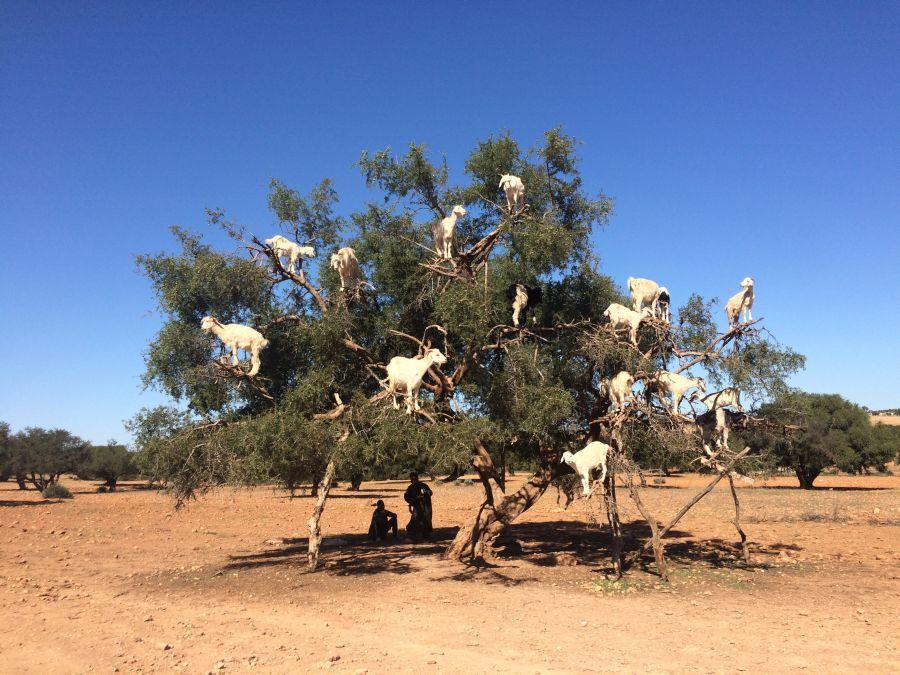 maroko, dovolenka v maroku, orient, dovolenka v oriente, poznavaci zajazd, satur, kozy na stromoch, arganovnik, kozy na arganovnikoch