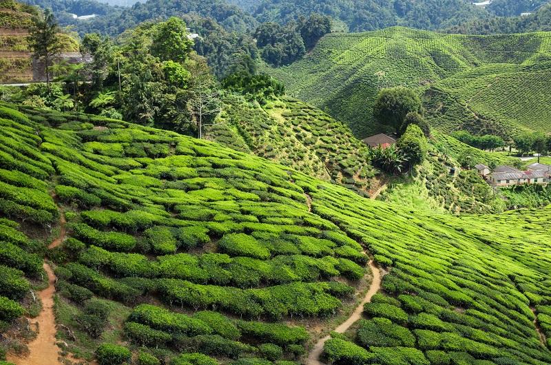 Cameronská vysočina v malajzii